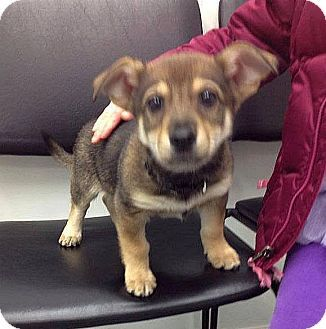 Columbus Oh Corgi Chihuahua Mix Meet Neeko A Puppy For Adoption Chihuahua Mix Puppies Puppy Adoption Corgi Chihuahua Mix