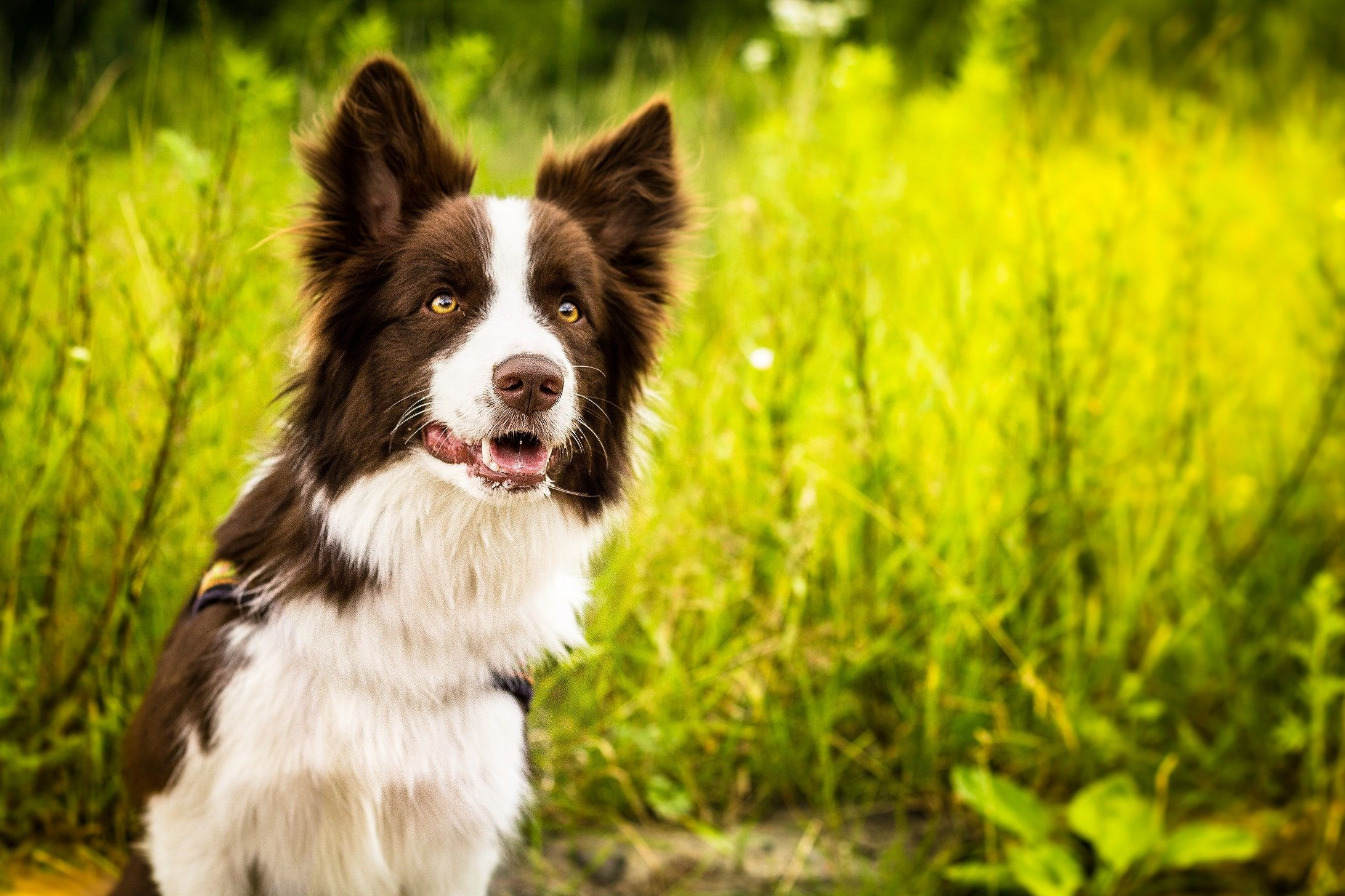 Full HD P Border Collie Wallpapers HD Desktop Backgrounds