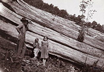 Fallen chestnut tree, Tennessee. Note the mammoth size of this ancient trunk.