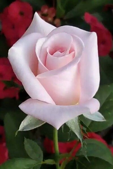 ♡☆ A Perfect Rose ☆♡