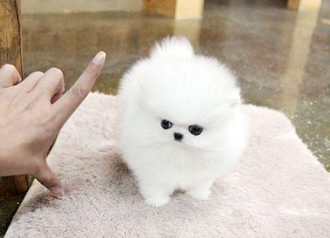 Pomeranian Pomeranian Puppy Teacup Pomeranian Puppy Puppy Adoption