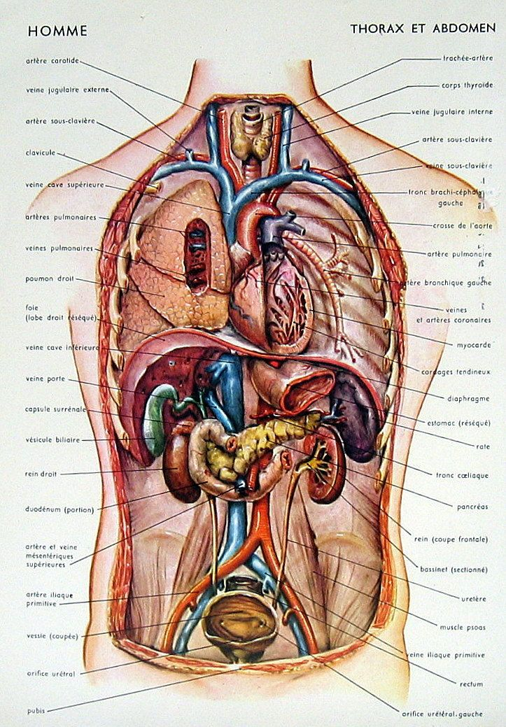 "abdomen anatomy regions ""liver stomach removed"" - google search, Human Body"