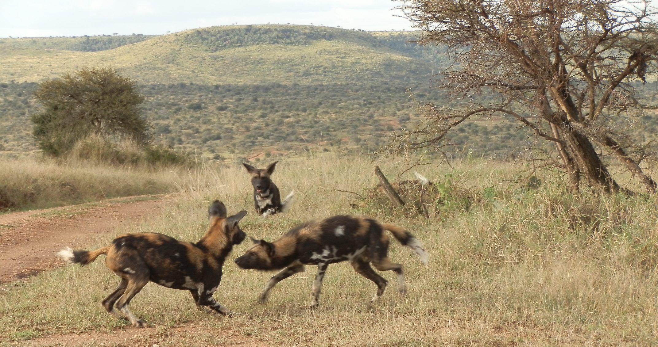 Wild dog asserting authority - 26.8.12.  At Loisaba Wilderness, Laikipia, Kenya.  www.loisaba.com