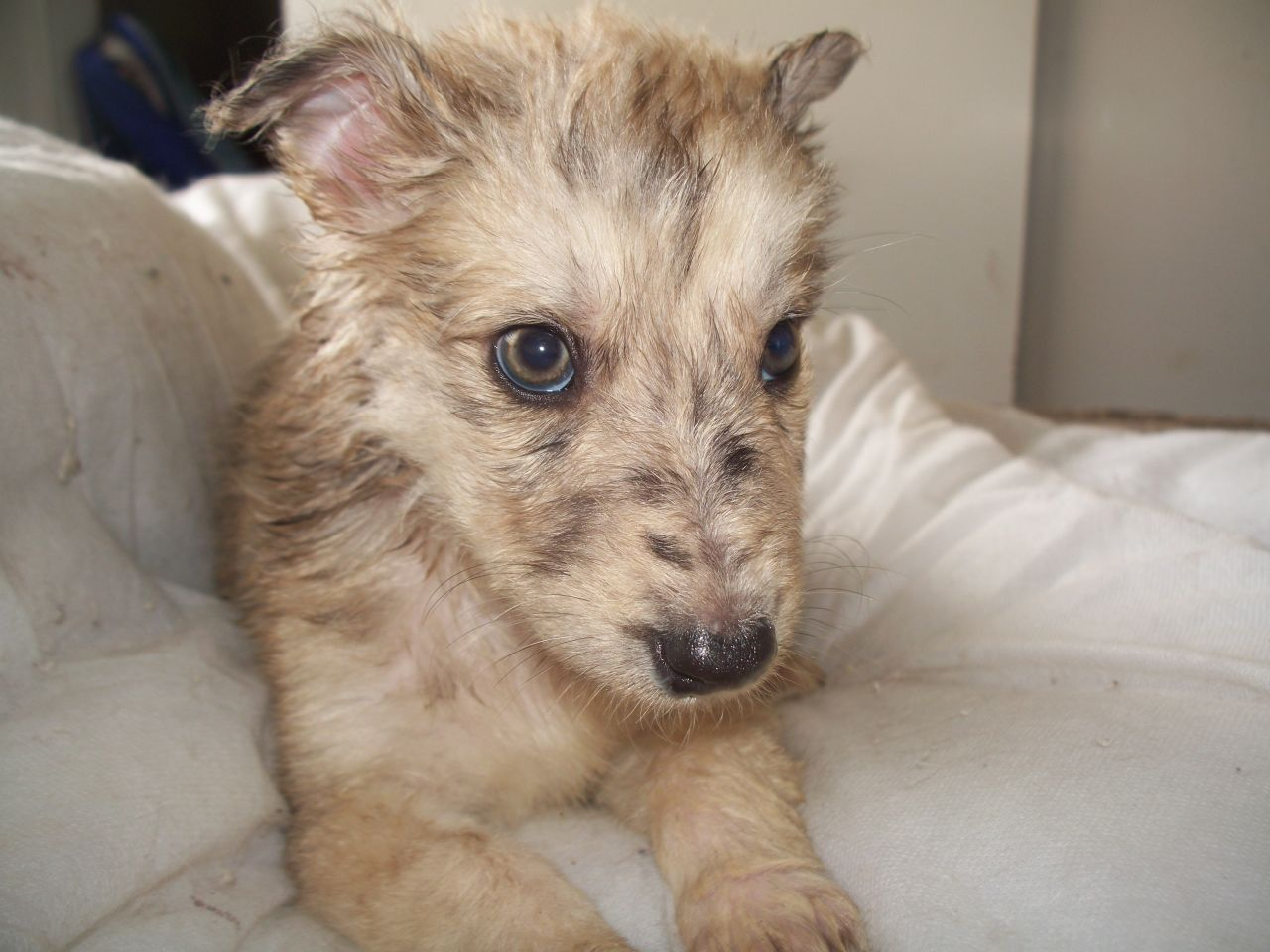 Beautiful Long Haired Sable Merle Lurcher Puppies Lurcher