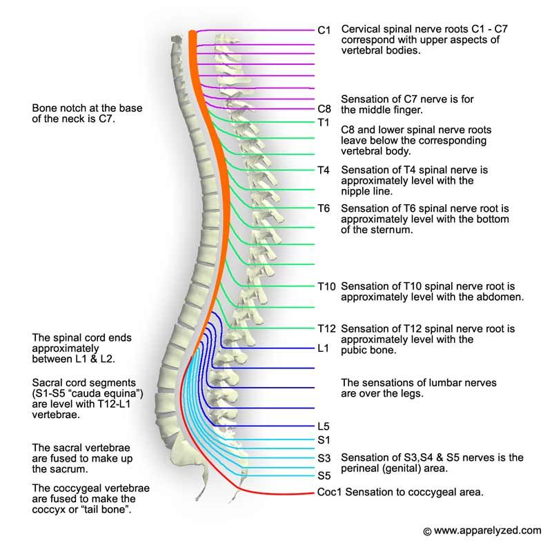 How Different Areas Of The Spine Tie Together Nerves Pinterest