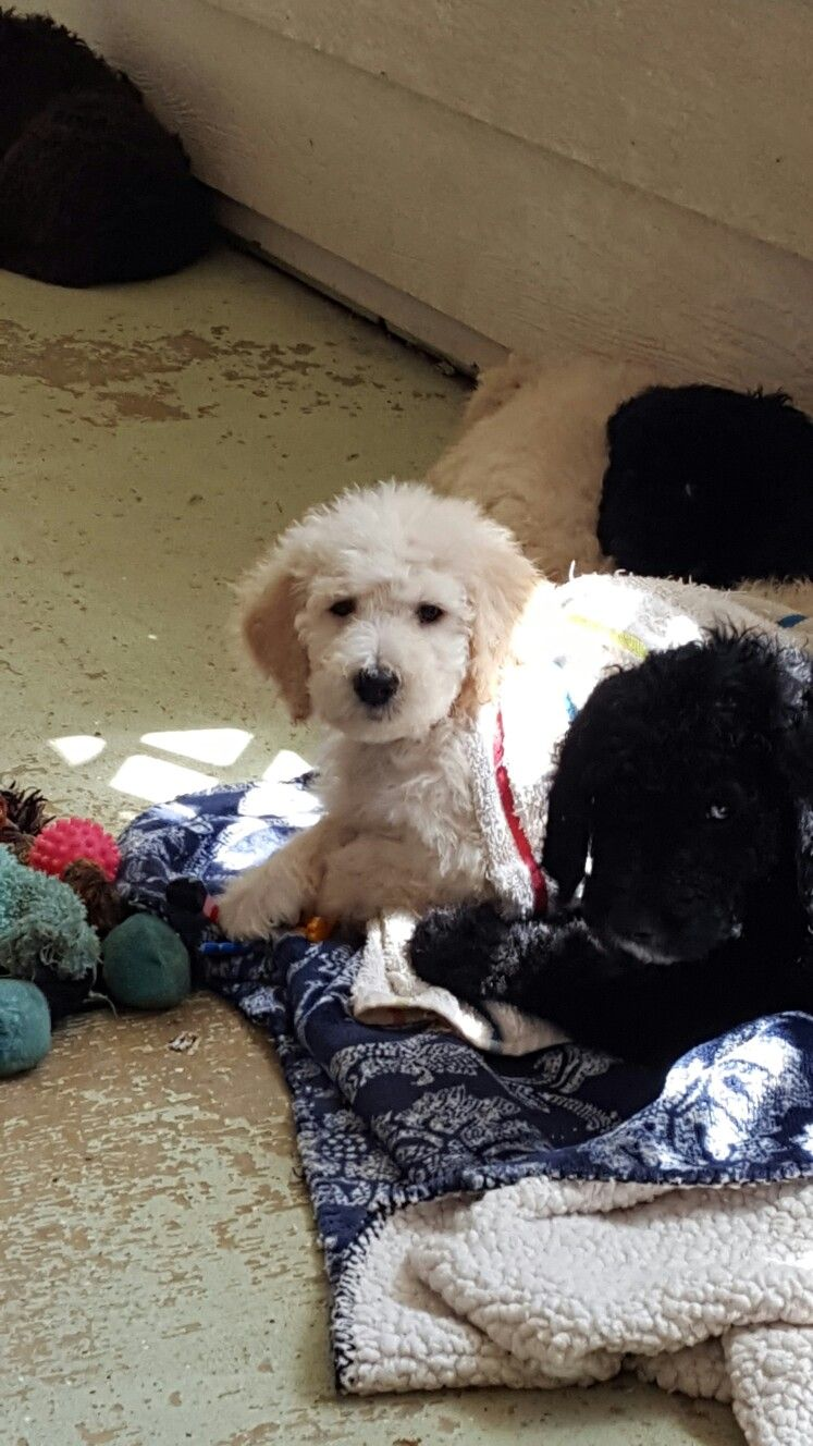 Zoey A Female Standard Poodle 6 Weeks Old With Her Brother