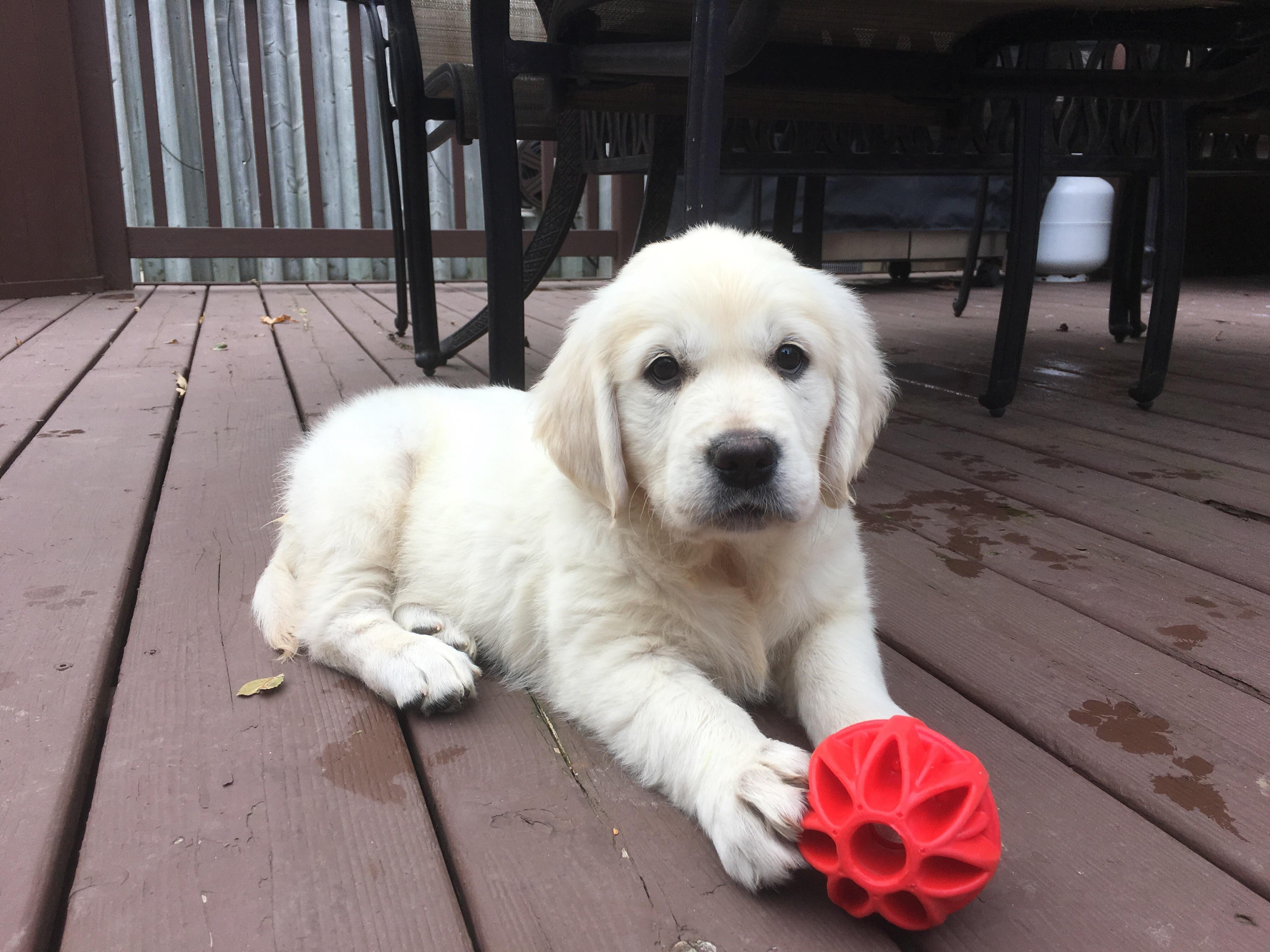 New English Golden Retriever Puppy Boy Dog Names Dog Names English Golden Retriever Puppy