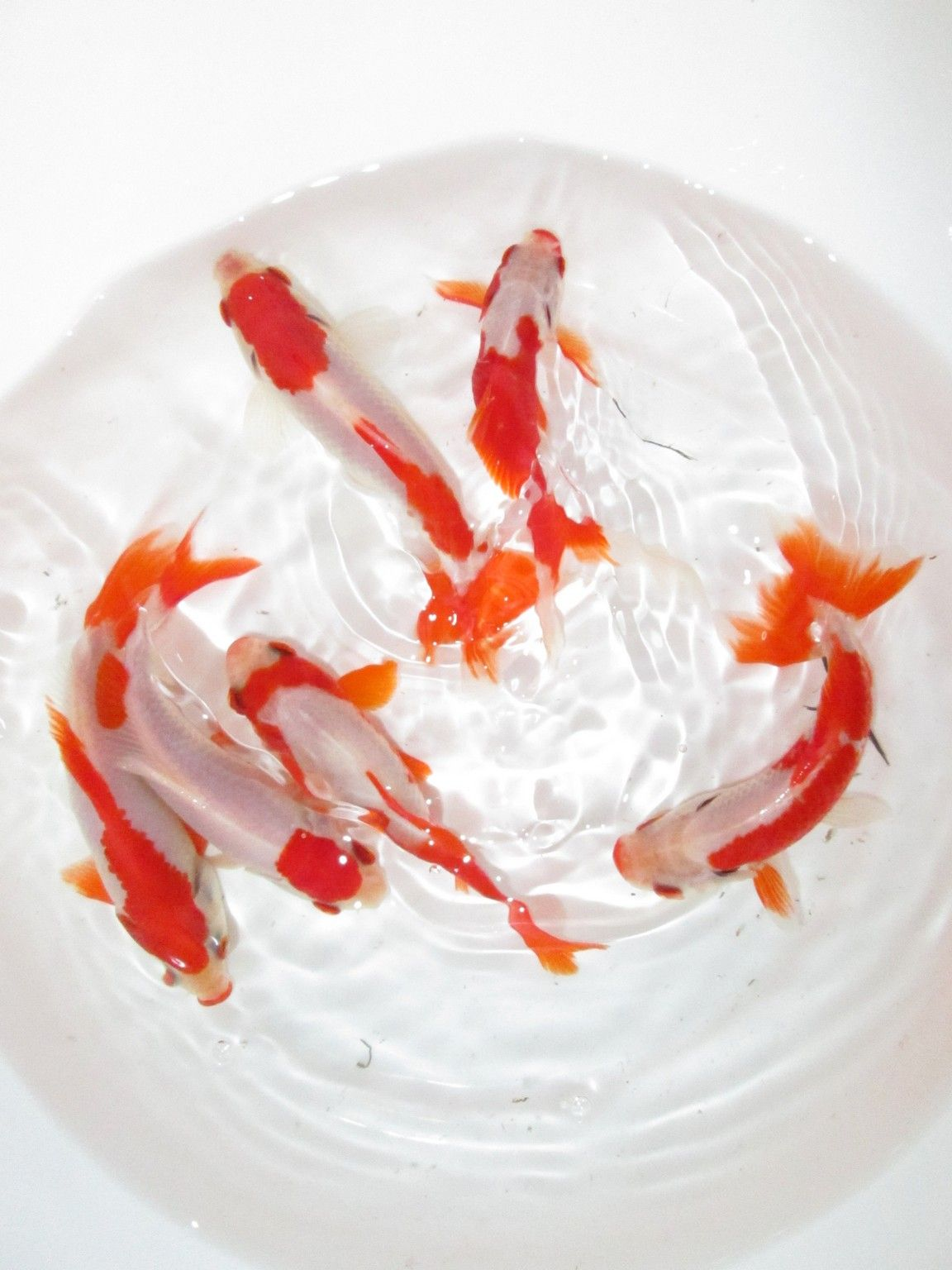 4 selected wakin sarasa oranda goldfish pinterest for Pesce rosso butterfly