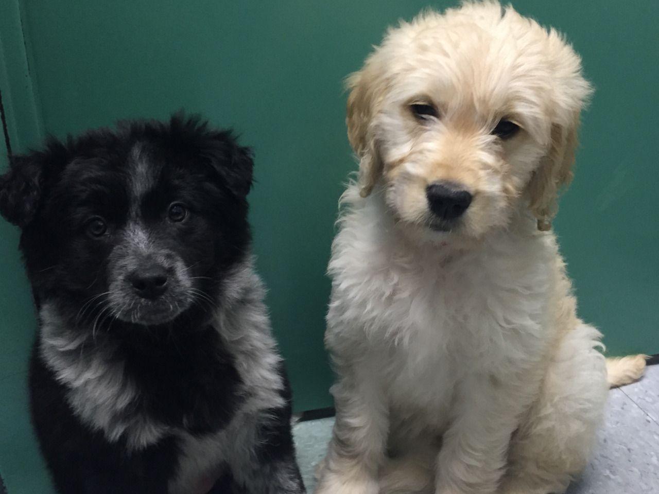 Handsomedogs Koda A Norwegian Elkhound Border Collie Mix And