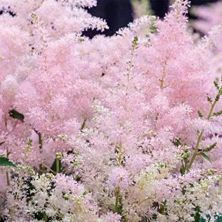 Younique™ Silvery Pink Astilbe - Richly colourful flower spikes are more vibrant than ever, lending their textured beauty to fresh floral arrangements, containers and borders. Compact 40-50 cm, rounded habit produces more flower scapes in early summer that grow closer together, making these Astilbe the perfect choice for containers. Attractive, mounded foliage looks nice in the landscape. Tolerates heat and humidity.