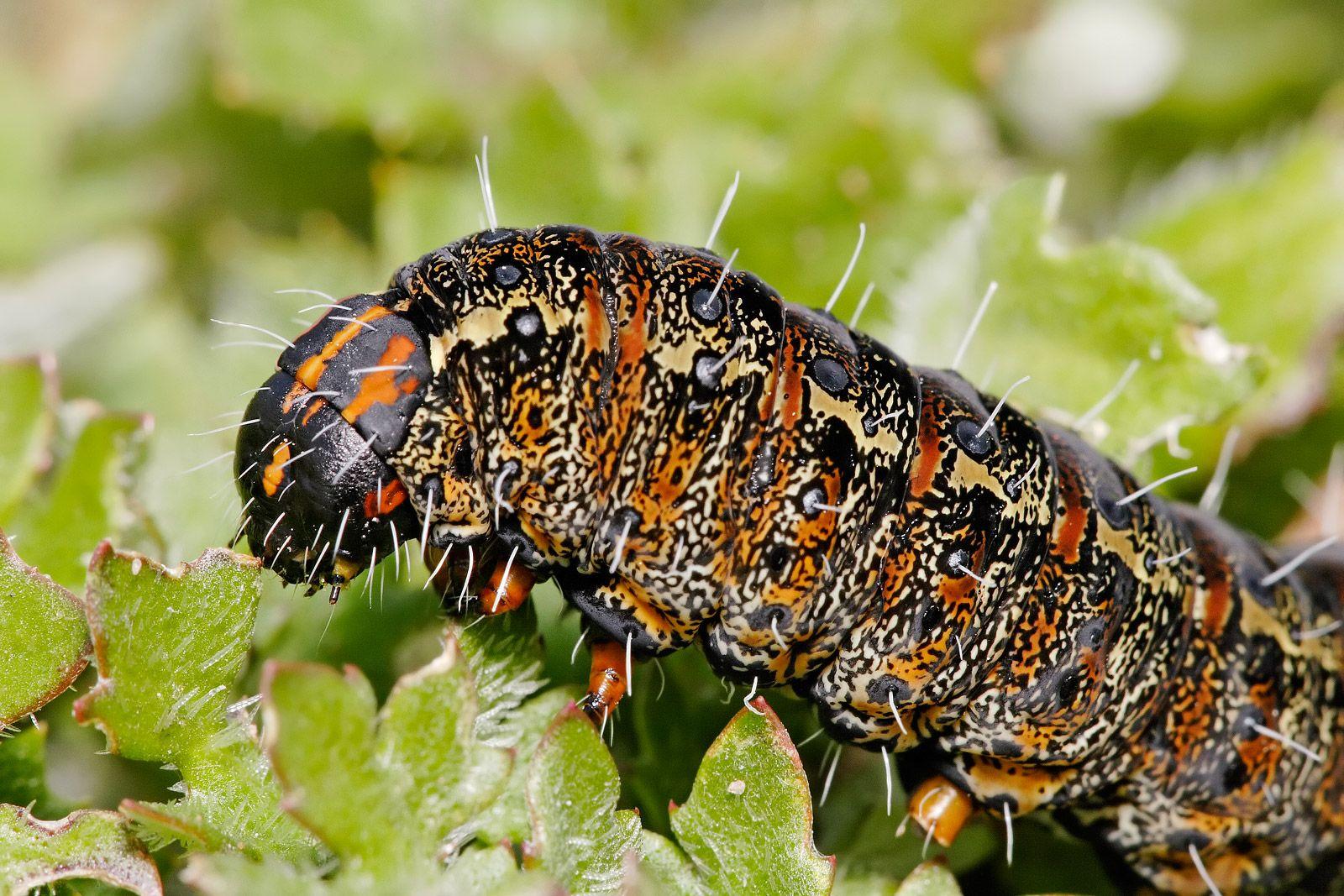 Caterpillar Google Search Caterpillar Eating Moth Caterpillar What Do Caterpillars Eat