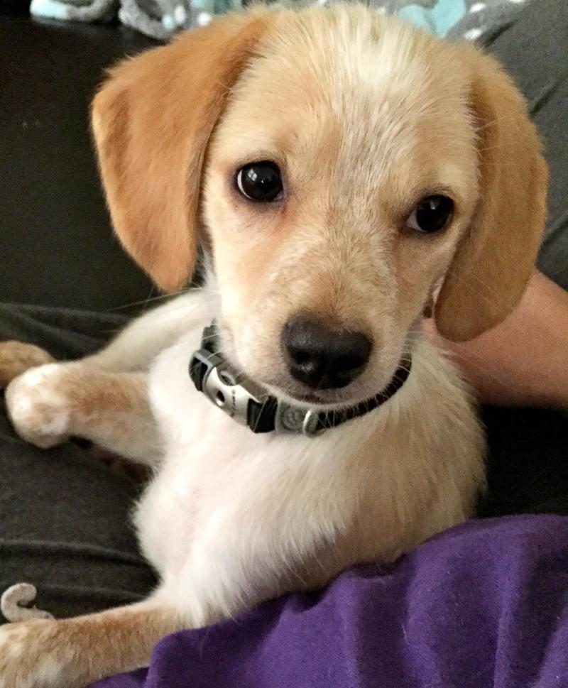 Adopt Zelda on Dogs golden retriever, Labrador retriever