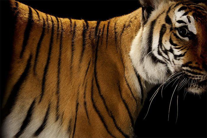 Big Cats: Photos by Vincent J. Musi