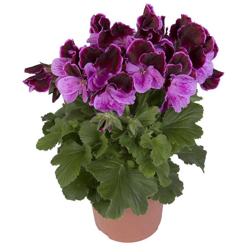 elegance judith franse geranium regal pelargonium edelgeranie le pelargonium www. Black Bedroom Furniture Sets. Home Design Ideas