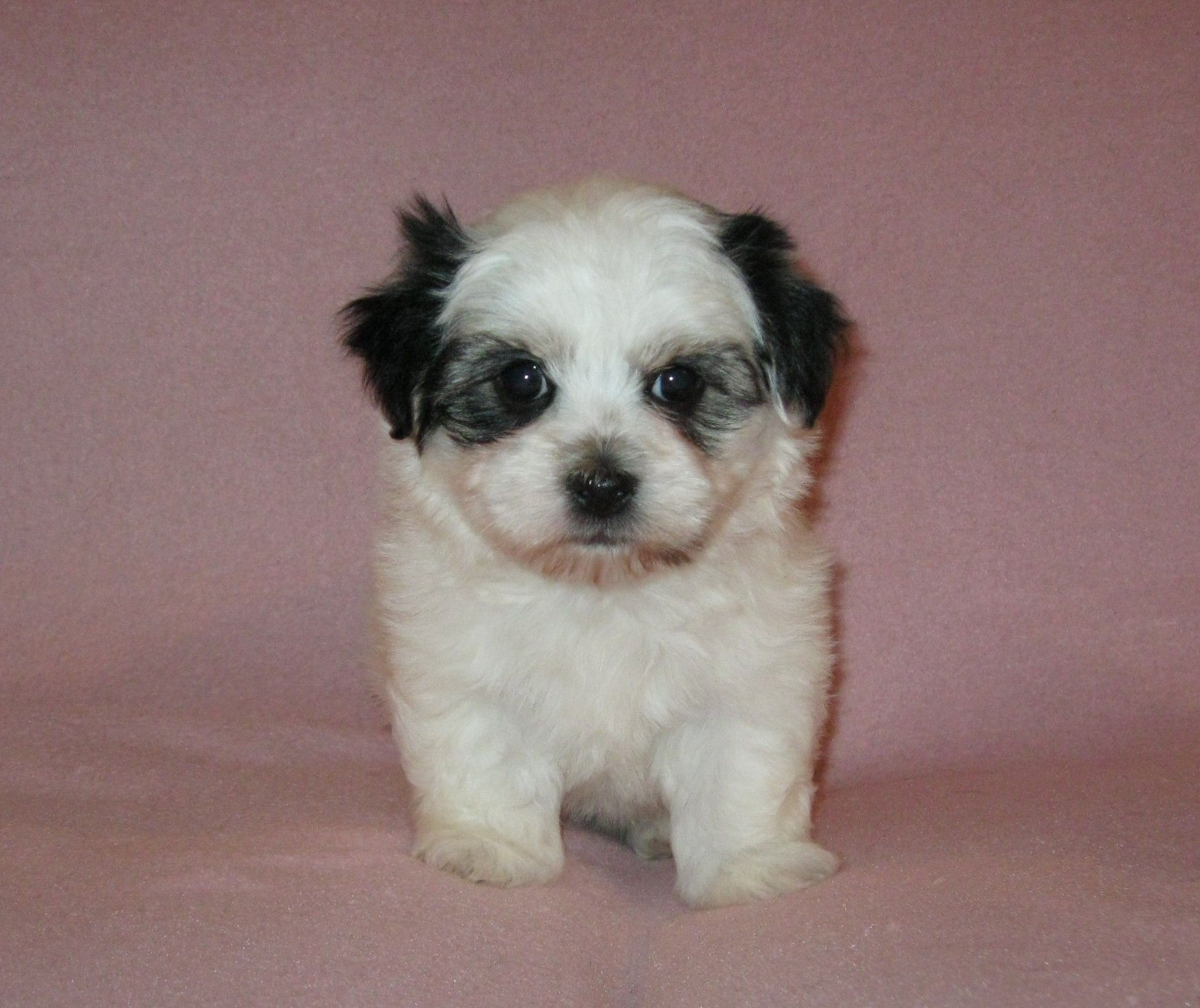 Havanese puppies for sale (With