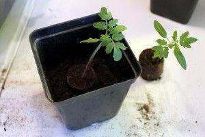 """Tomaatit kannattaa kylvää turvenappeihin. """"Turvenappitaimia"""" on helppo käsitellä. Tomaatintaimien kouliminen eli taimiruukkuihin siirtäminen on myös nopeampaa."""