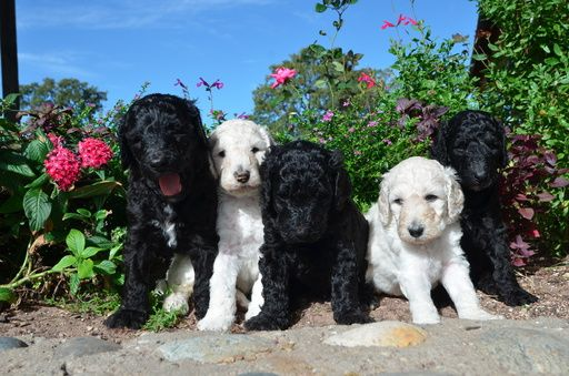 Litter Of 4 Poodle Standard Puppies For Sale In Keller Tx Adn