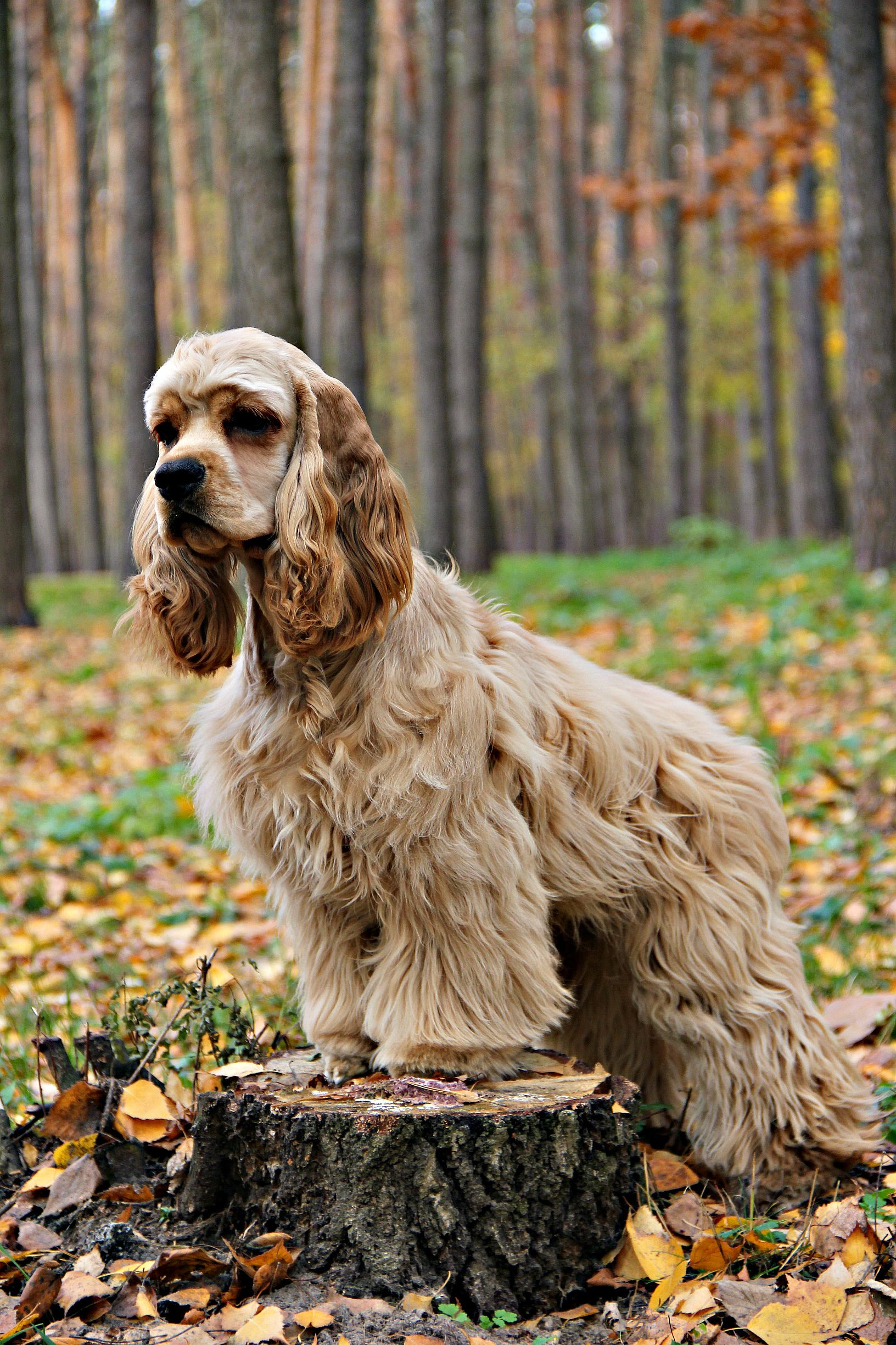 Enjoy The Autumn With An American Cocker Spaniel Puppy Cocker