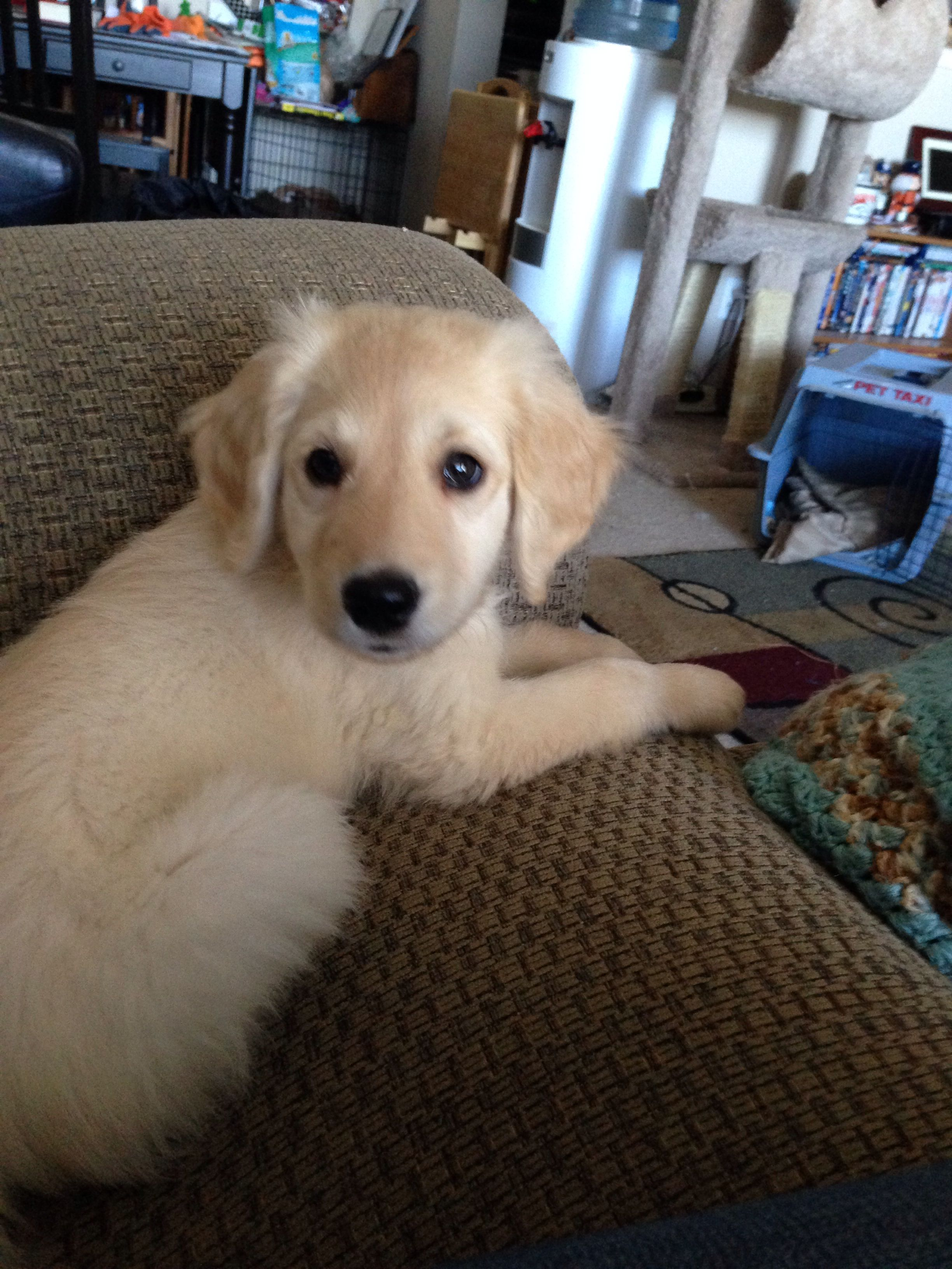 My Adorable 9 Week Old Flat Coat Goldendoodle Luke
