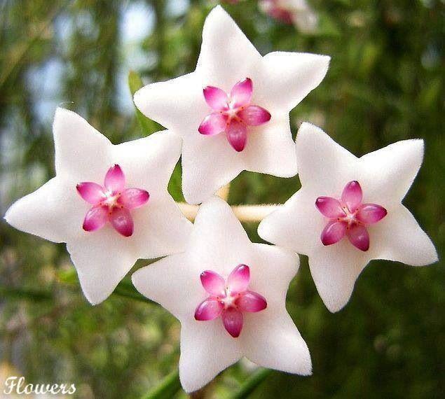 White Star Pink Center