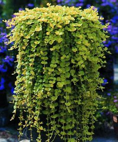 Plante Exterieur Tombante