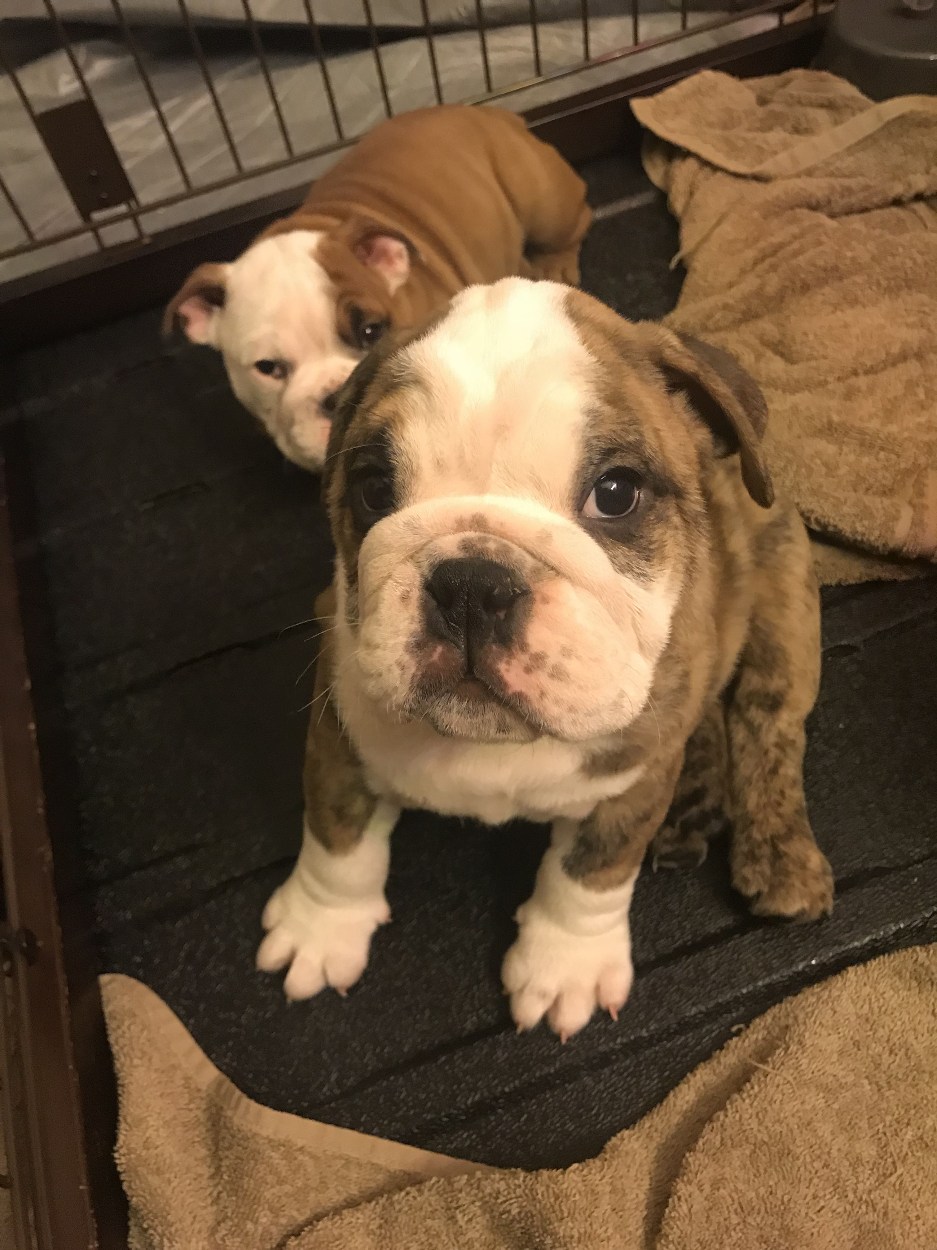 American Bully For Sale Waz Zap What Sapp 60172415563 For Sale