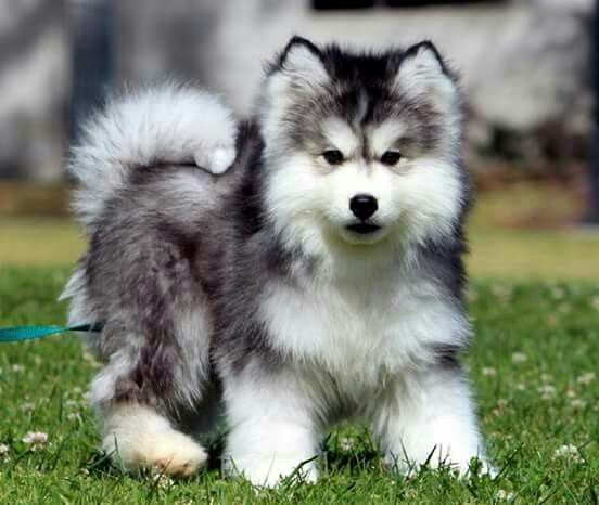 Wooly Puppy Puppies Malamute Dog Baby Animals Pictures