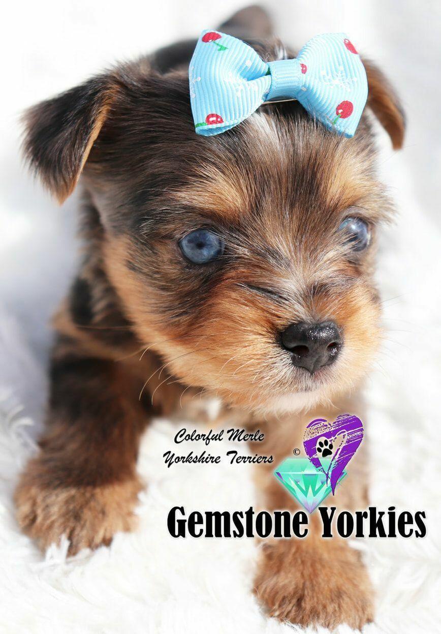 Blue Eyed Yorkie Terriers Yorkie Breeders Yorkie Puppy For Sale