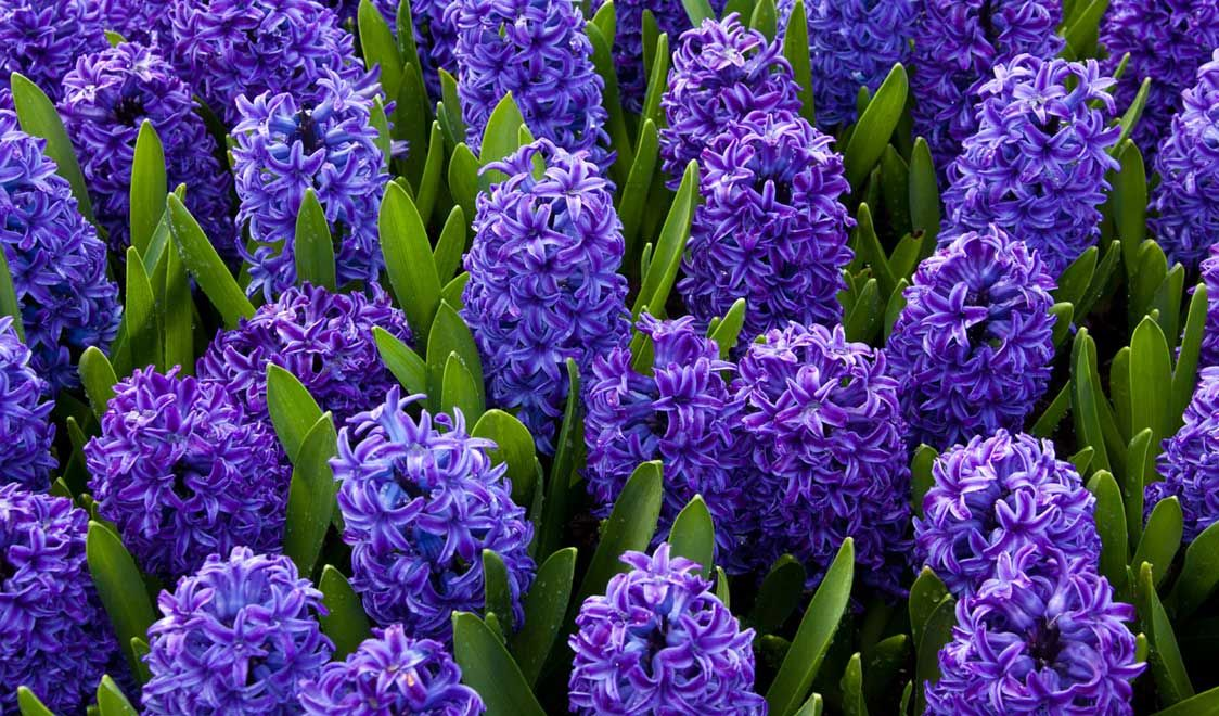 The Language Of Flowers Spring Flowering Bulbs Hyacinth Flowers Flower Images Free