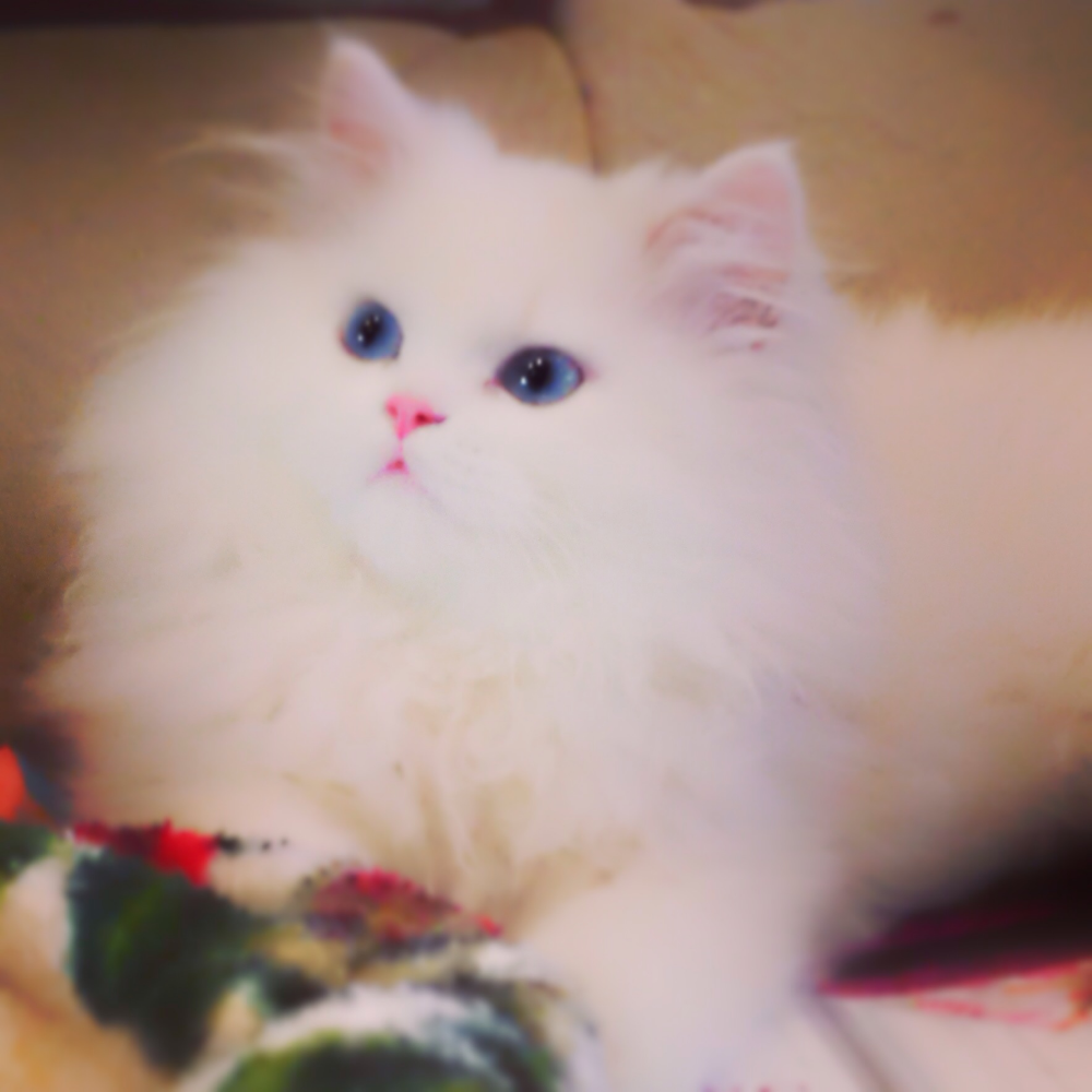 Pin By Janelle On Pets Cats Persian Kittens For Sale Persian Cat Doll Face Persian Kittens