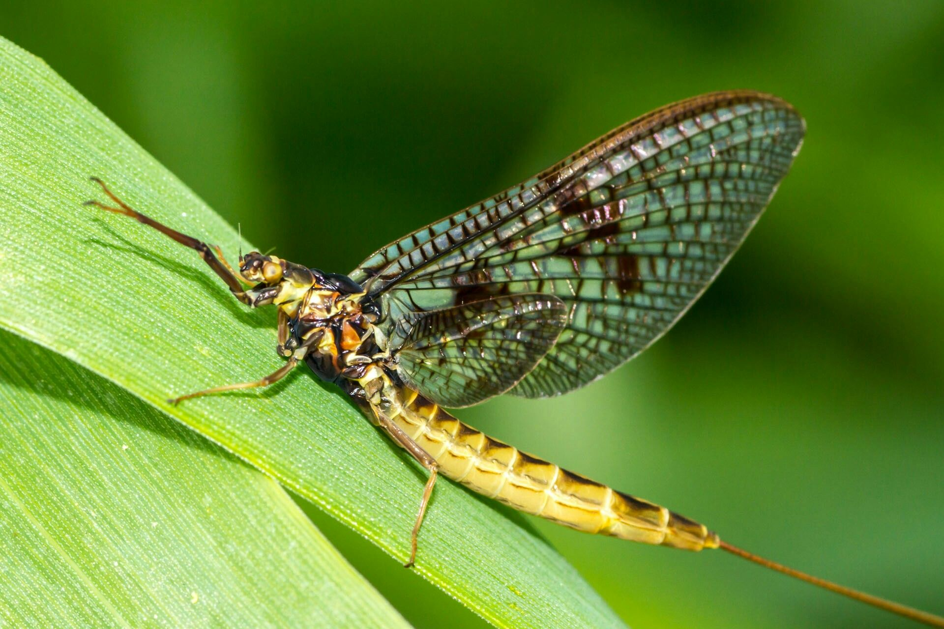Mayfly, an insect that belongs to order Ephemeroptera and