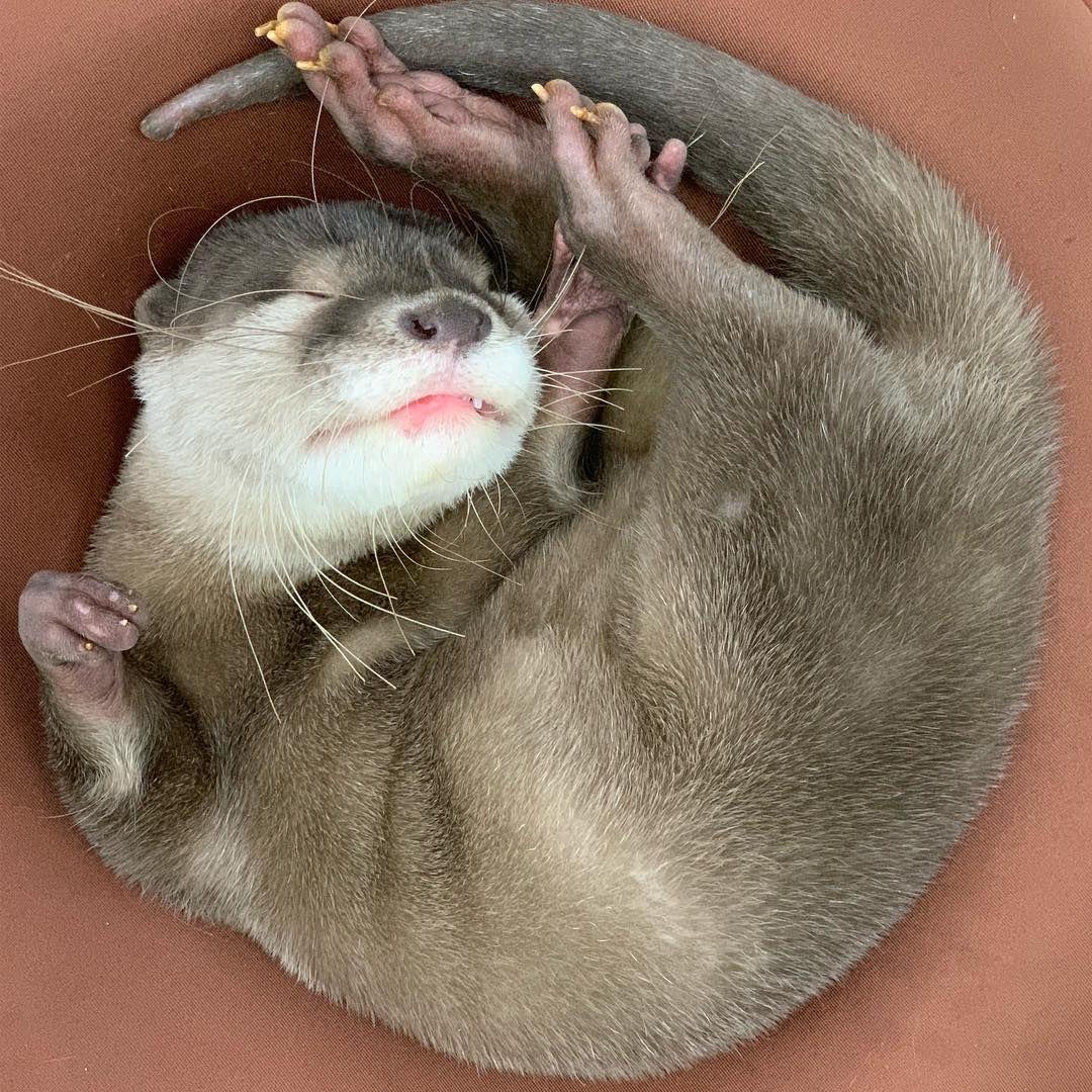 Yuki On Instagram まん丸お月様なうち 気持ちよく寝てるから 起こさんでね コツメイト コツメカワウソ カワウソ 福岡 大名 ペット ふれあい 可愛い 癒し Fukuoka Otter コツメイト コツメイト福岡大名 Otterbox