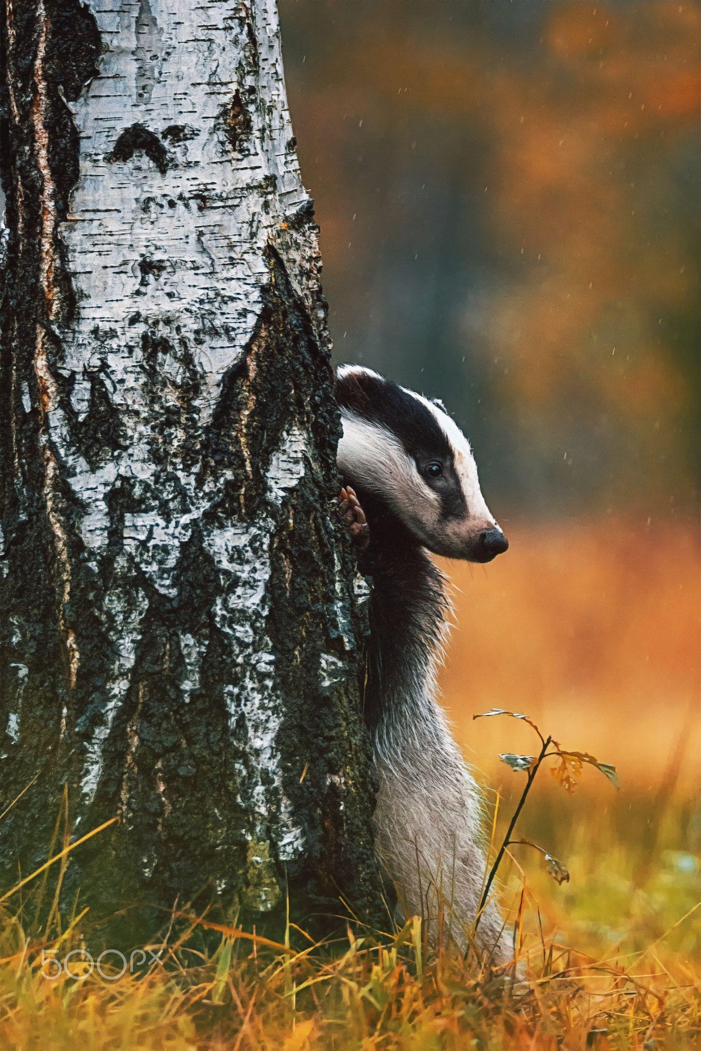 European badger   CUTE ANIMALS!! :DD   Pinterest   Naturaleza