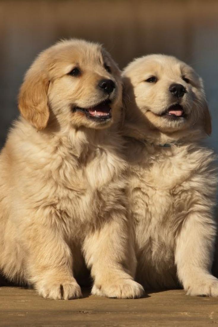 Two Golden Retriever Puppies Sitting On A Pier Goldenretriever