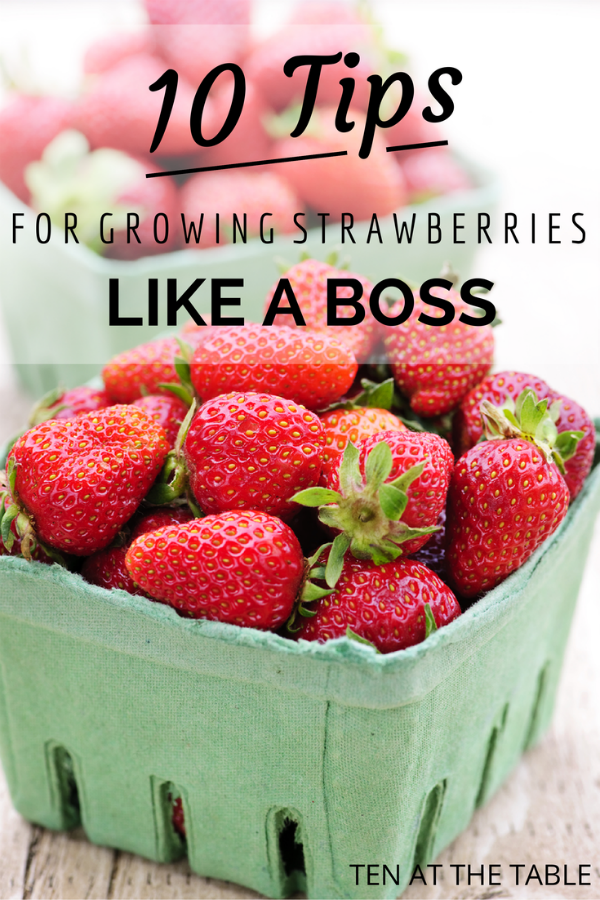 10 Tips for Growing Strawberries {Like A Boss}   Ten at the Table