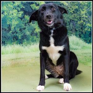 Belinda Is A Female Labrador Retriever Mix Who Is Available At Houston Spca Houston Tx Labrador Retriever Mix Animal Help Labrador Retriever