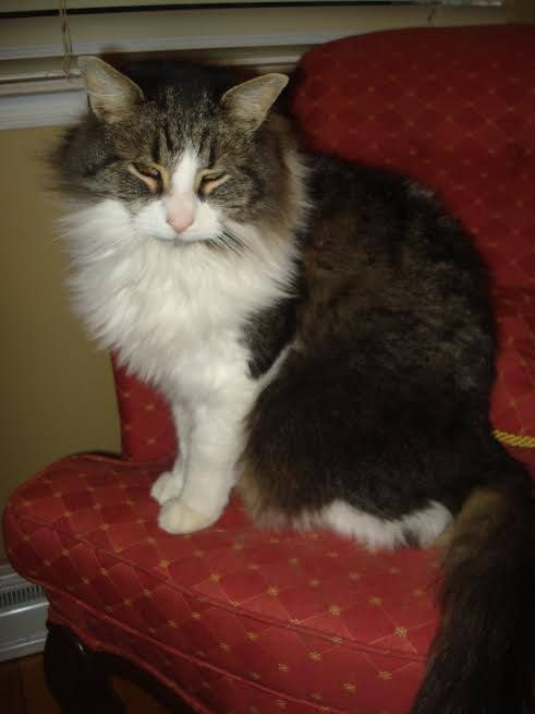 Poirot Is Hoping For A Forever Home In Monteal Poirot Is Long Haired Maine Coone Type Declawed On His Front Paws Neut Saving Cat Pet Adoption Cat Adoption