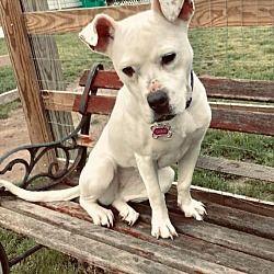 New York, NY Boxer. Meet Cloud a Pet for Adoption. Dog
