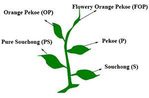 Blog What Is Orange Pekoe Orange Pekoe Tea Orange Pekoe Tea Blog