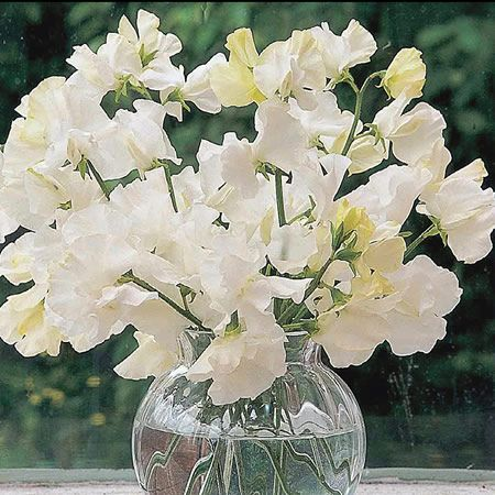 White sweet pea in vases next to arranged table flowers white sweet pea in vases next to arranged table flowers arrangments white pinterest flowers flower and sweet pea seeds mightylinksfo Gallery