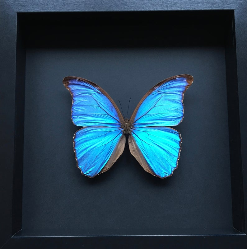 Morpho Didius Naturalise Du Bresil Sous Magnifique Grand Cadre Etsy Morpho Black Backgrounds Butterfly Blue