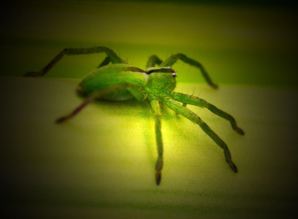 A green Spanish spider on a palm leaf, Mijas Costa, Spain