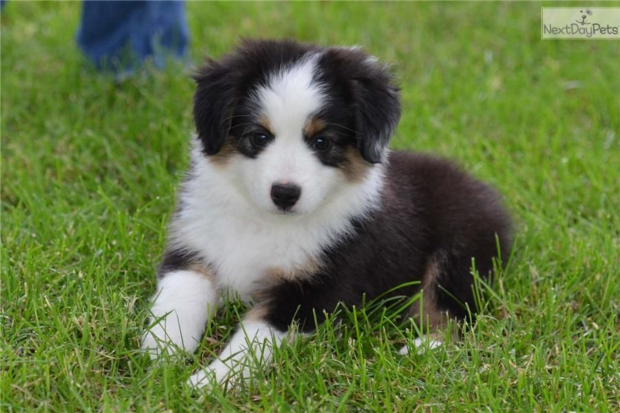 Toy aussie puppies for sale 200