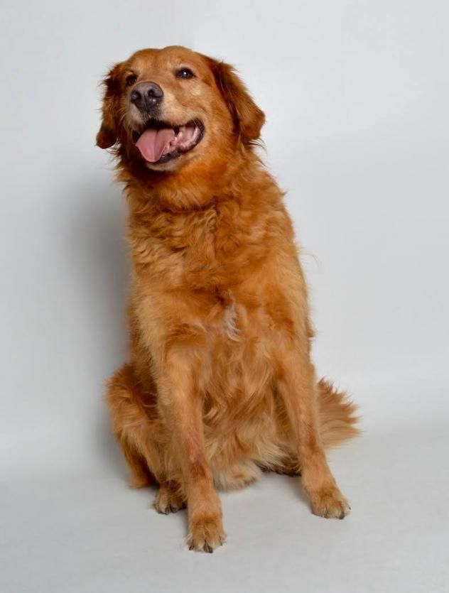Adopt Cooper On Dogs Golden Retriever Animals Adoption
