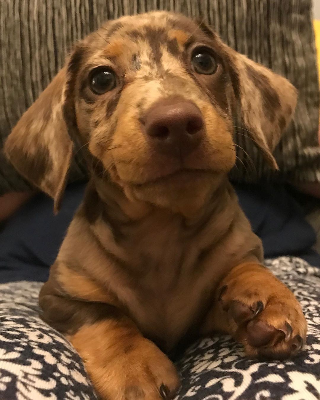 Pin By Sofia Winchester On Cute Dachshund Puppies Cute Puppies