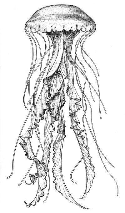Tender Drawing Illustration Jellyfish Sketch Jellies Animal Blog Animal Blog Drawing Illustration Jellie Illustration Zeichnung Fisch Zeichnung