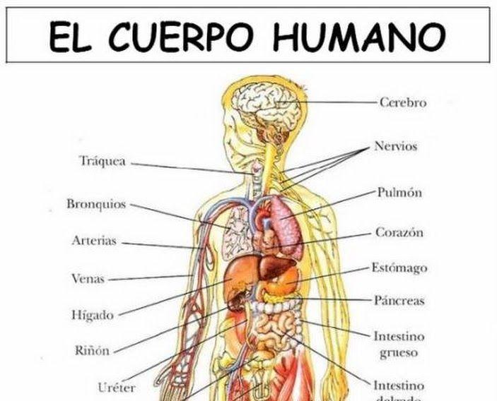 Laminas cuerpo humano spanish pinterest spanish and learn spanish - Interior cuerpo humano organos ...