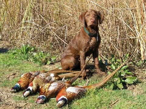 Chocolate Lab #puppy #dog #hunting | Working dogs, Dogs, I ...