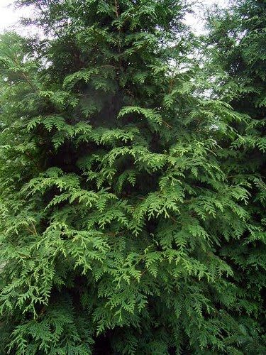 Plants For Privacy Plants Thuja Plicata Privacy Plants