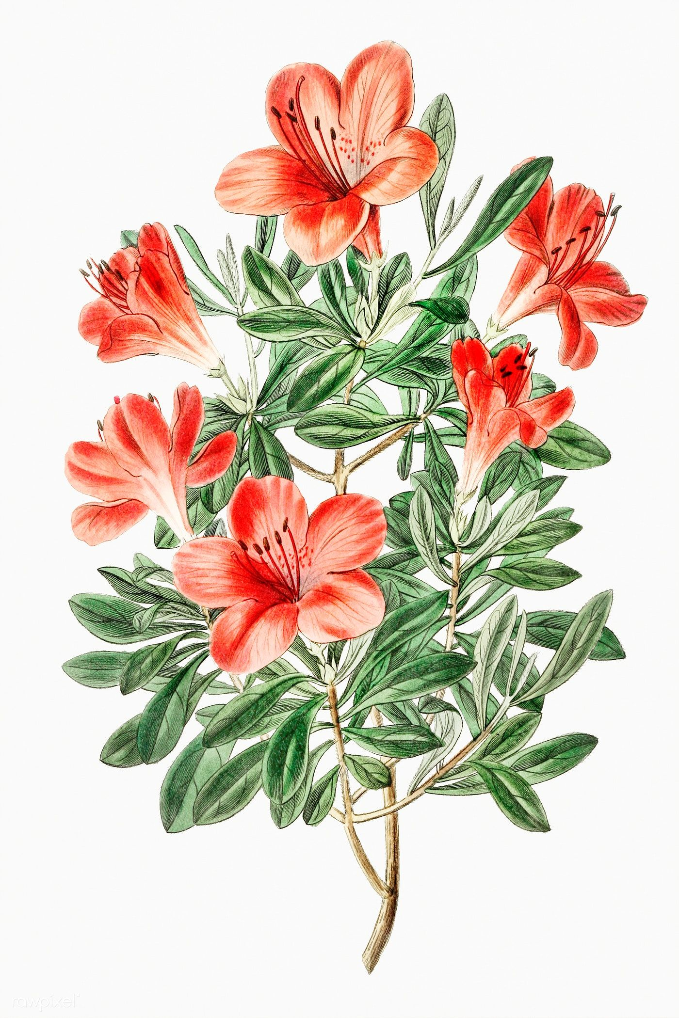 Vintage Brick Red Chinese Azalea Flower Branch For Decoration Premium Image By Rawpixel Com Azalea Flower Flower Drawing Flower Sketches